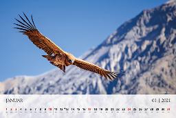 Mesec januar krasi na koledarju 2021 andski kondor.