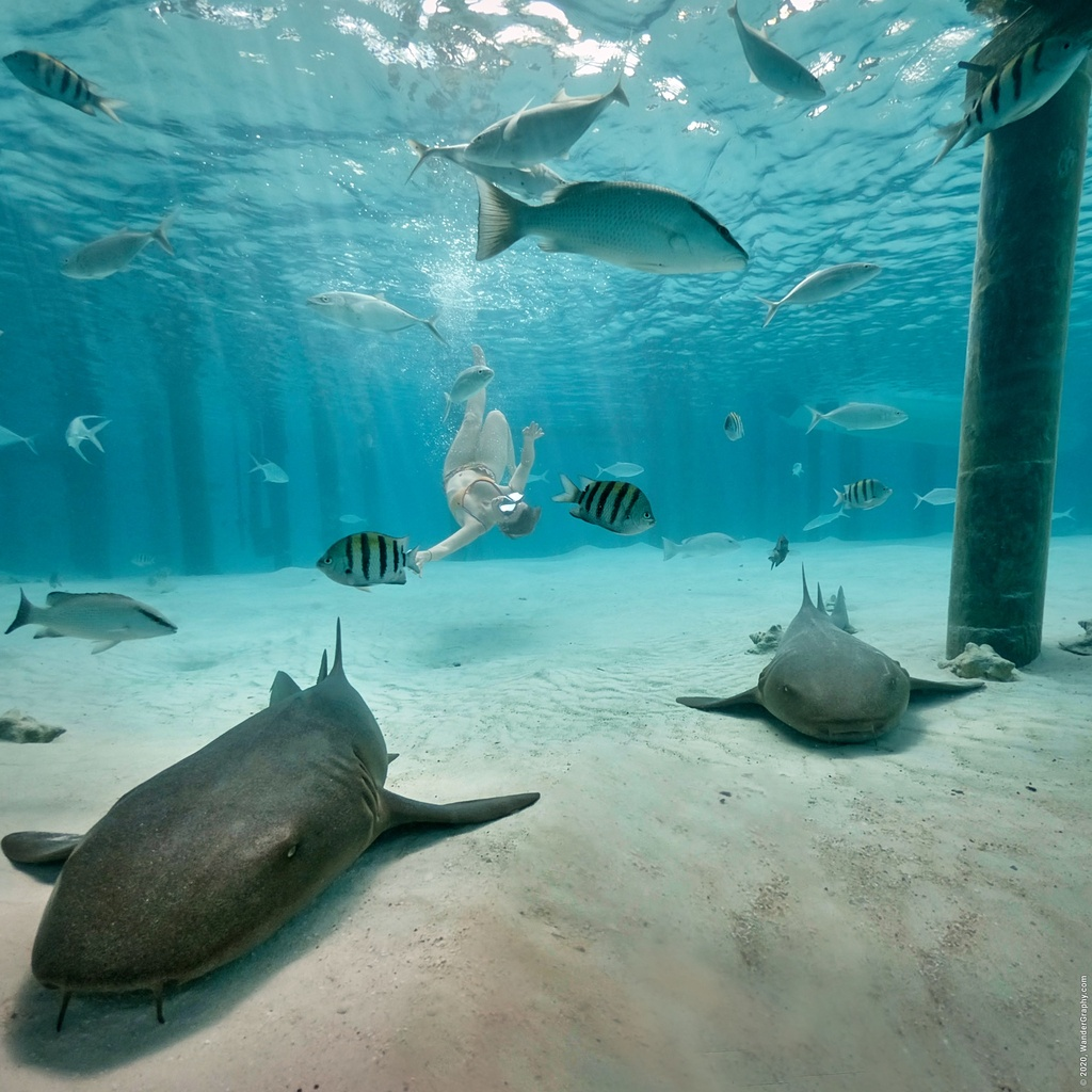 Nurse sharks are friendly dive companions on The Bahamas.