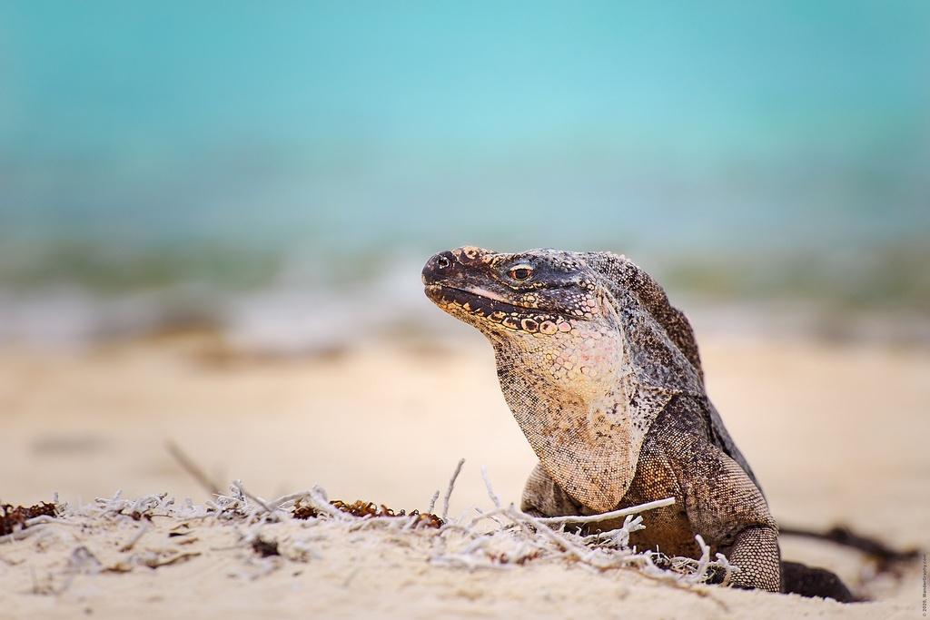 Endangered iguana on The Bahama island.